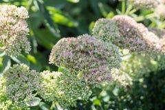 Las abejas recogen el néctar en un jardín más grande con las flores Imagen de archivo