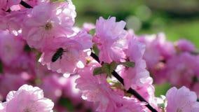 Las abejas recogen el néctar en una rama floreciente del albaricoque Cierre para arriba Cámara lenta almacen de video