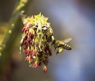 Las abejas recogen el néctar y el polen de los flores, fondo de la naturaleza Foto de archivo libre de regalías