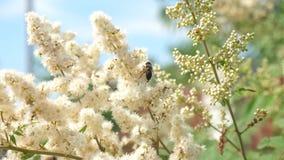 Las abejas recogen el néctar y polinizan las flores en una rama de árbol Primer Cámara lenta Las flores del jardín de la primaver