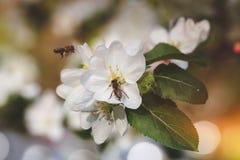 Las abejas recogen el polen de manzano Imagen de archivo libre de regalías