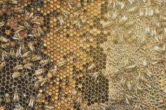 Las abejas recogen la miel sobre el panal en un fondo Foto de archivo libre de regalías