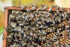 Las abejas recogen la miel sobre el panal en un fondo Fotos de archivo libres de regalías