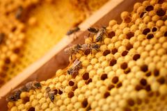 Las abejas se arrastran en los panales llenados de la miel Fotos de archivo