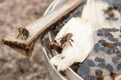 Las abejas se cierran encima de mostrar el agua potable de algunos animales imagenes de archivo
