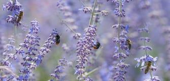las abejas se cierran para arriba en las flores de la lavanda Imagen de archivo