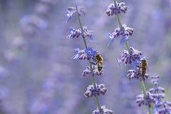 las abejas se cierran para arriba en las flores de la lavanda Imágenes de archivo libres de regalías