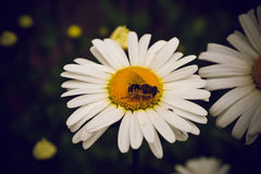 Las abejas se están sentando en las flores de la manzanilla Fotos de archivo