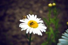Las abejas se están sentando en las flores de la manzanilla Imágenes de archivo libres de regalías