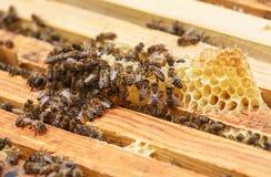 Las abejas se sientan en el panal en una colmena y comen la miel Foto de archivo libre de regalías