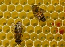 Las abejas terminan el trabajo sobre crear los panales Imágenes de archivo libres de regalías