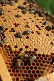 Las abejas toman el cuidado de las larvas Fotos de archivo libres de regalías