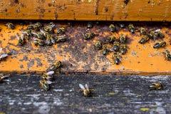 Las abejas van dentro y fuera de su colmena Imágenes de archivo libres de regalías