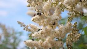 Las abejas vuelan adentro en las flores blancas y recogen el n?ctar C?mara lenta diversos insectos que polinizan las flores amari