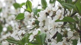 Las abejas vuelan al árbol floreciente, cámara lenta almacen de metraje de vídeo