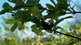 Las abejas vuelan al árbol floreciente en jardín almacen de video