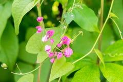 Las abejas vuelan alrededor de la flor rosada de la clemátide en el jardín Imagenes de archivo