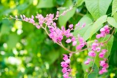 Las abejas vuelan alrededor de la flor rosada de la clemátide en el jardín Imagen de archivo