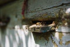 Las abejas vuelan en la entrada de la colmena Fotos de archivo libres de regalías