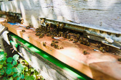 Las abejas vuelan en la entrada de la colmena están trayendo el polen Imagen de archivo