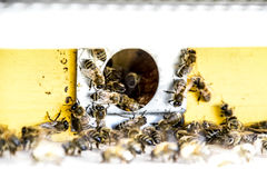 Las abejas vuelan en la entrada a la colmena Bandeja de la colmena Entrada del agujero a la colmena Imágenes de archivo libres de regalías