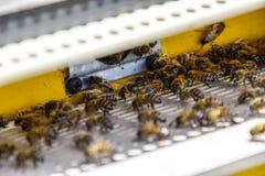 Las abejas vuelan en la entrada a la colmena Bandeja de la colmena Entrada del agujero a la colmena Fotos de archivo