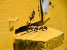 Las abejas vuelan en la entrada a la colmena Bandeja de la colmena Entrada del agujero a la colmena Foto de archivo libre de regalías