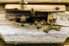 Las abejas vuelan en una colmena de madera Imágenes de archivo libres de regalías