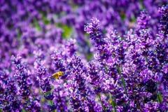 Las abejas vuelan entre la lavanda púrpura en verano Foto de archivo