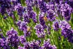 Las abejas vuelan entre la lavanda púrpura en verano Foto de archivo libre de regalías