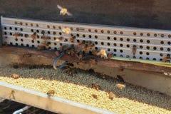 Las abejas vuelven a las colmenas durante la porción de la cosecha de abejas vuelan cerca de varias colmenas Foto de archivo libre de regalías