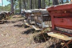 Las abejas vuelven a las colmenas durante la porción de la cosecha de abejas vuelan cerca de varias colmenas Imagen de archivo libre de regalías