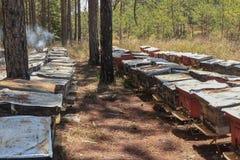 Las abejas vuelven a las colmenas durante la porción de la cosecha de abejas vuelan cerca de varias colmenas Fotos de archivo