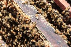 Las abejas vuelven a las colmenas durante la porción de la cosecha de abejas vuelan cerca de varias colmenas Fotos de archivo libres de regalías