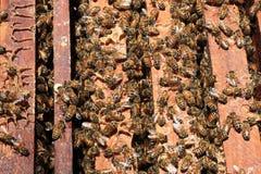 Las abejas vuelven a las colmenas durante la porción de la cosecha de abejas vuelan cerca de varias colmenas Imagenes de archivo
