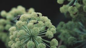 Las abejas y los abejorros recogen el polen almacen de video