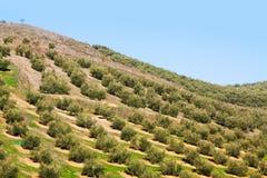 Las aceitunas plantan en los campos de la colina Fotos de archivo