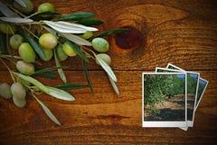 Las aceitunas verdes escogieron inmediatamente el árbol Fotos de archivo libres de regalías