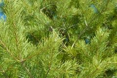 Las agujas brillantes en pino ramifican en la primavera imagen de archivo libre de regalías