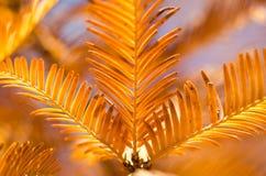 Las agujas de oro de Dawn Redwood en otoño foto de archivo libre de regalías