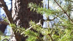 Las agujas del pino cierran el foco del estante almacen de video
