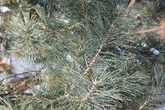 Las agujas del pino en la naturaleza de madera del abeto del pino del bosque ponen verde la aguja Imagen de archivo libre de regalías