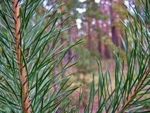 Las agujas del pino se cierran para arriba Fotografía de archivo