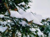 las agujas verdes ramifican con nieve en blanco imágenes de archivo libres de regalías