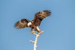 Extensión americana de las alas de Eagle calvo Fotografía de archivo libre de regalías