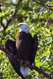Las alas del águila calva se separaron levemente en árbol Fotos de archivo