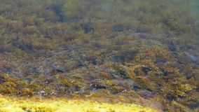 Las algas amarillas se están sacudiendo en las ondas en el Mar Negro metrajes