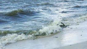 Las algas de la alga marina se lavaron para arriba por las ondas en la playa del mar almacen de metraje de vídeo
