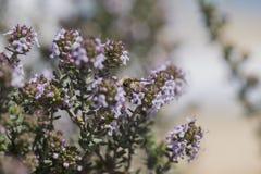 Las alimentaciones de la abeja en las flores del tomillo Imágenes de archivo libres de regalías