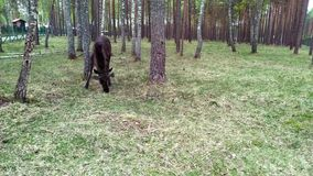 Las alimentaciones de los alces adentro el bosque los alces est?n situadas en el ?rea protegida de la reserva de Berezinsky almacen de video